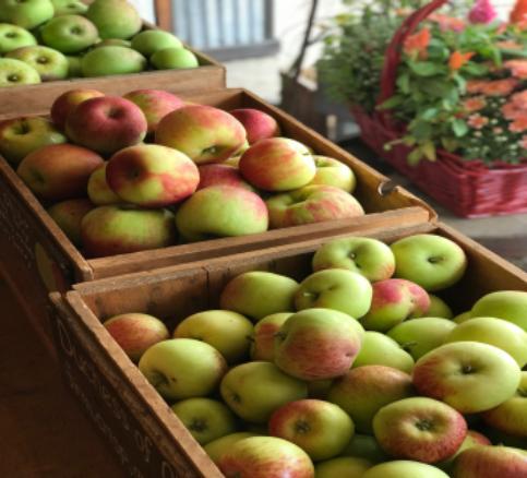 Freshly picked Duchess Of Oldenburg apples from Red Apple Farm