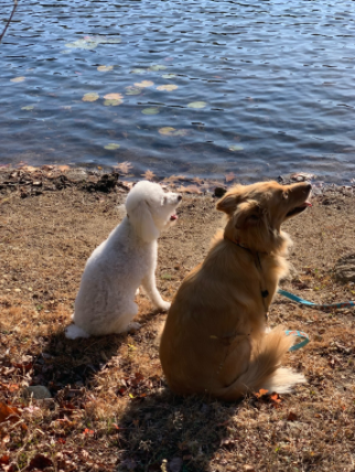 Dogs Cleo (left) and Alice enjoying the nice weather at the beaver dam behind Oakmont.